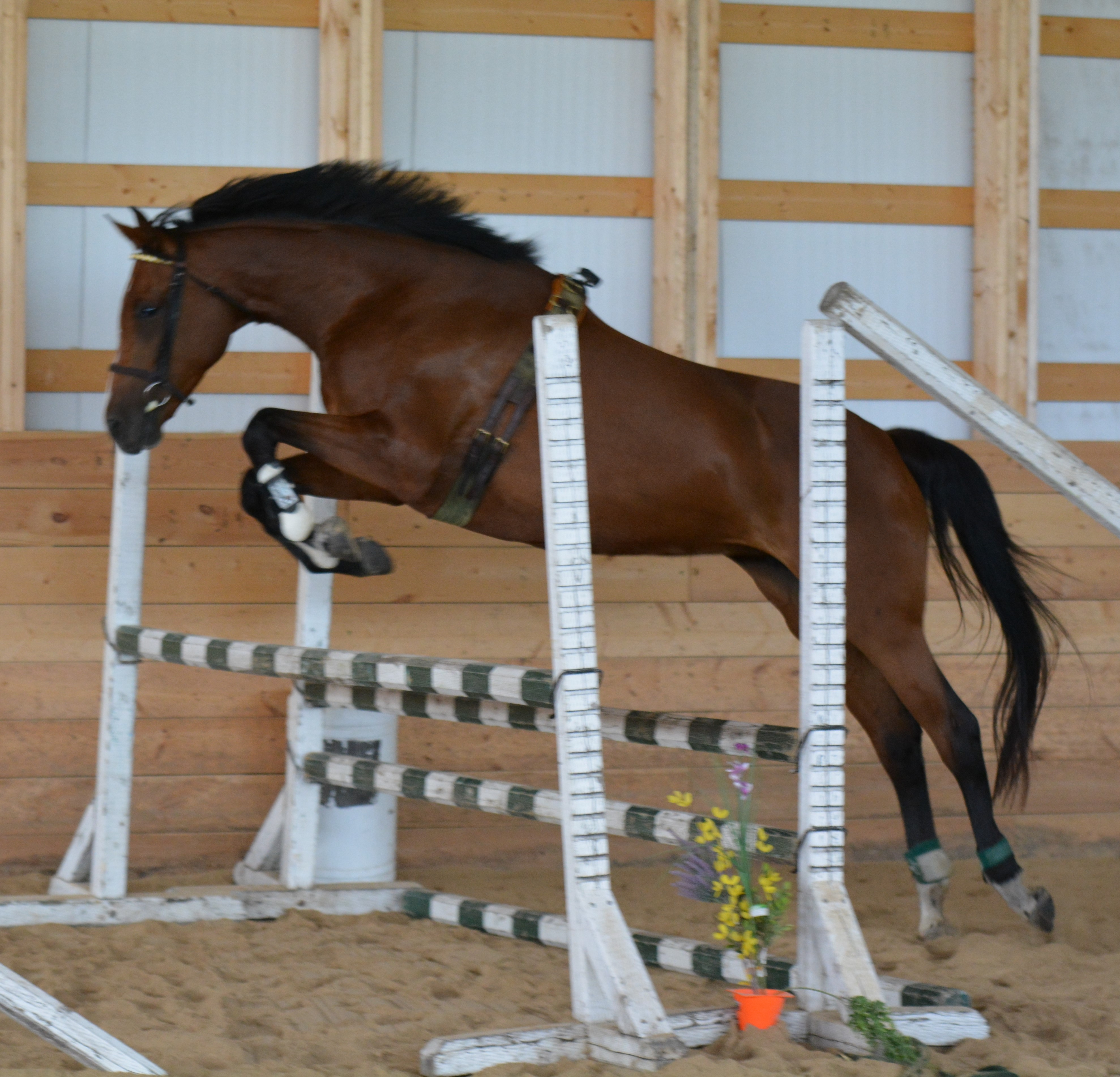 Horses For Sale Manitoba Hanoverian Stable